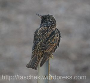Starling in Winter