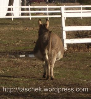 Obese donkey